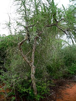 Commiphora simplicifolia 01.jpg