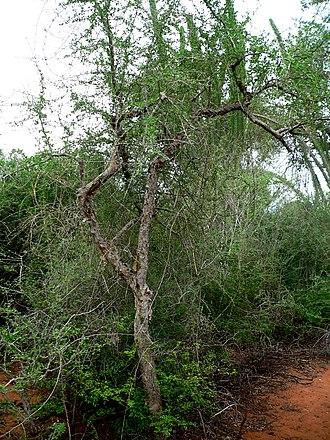 Commiphora - Image: Commiphora simplicifolia 01