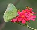 Common Emigrant (Catopsilia pomona)- Male on Jatropha panduraefolia in Kolkata Iws IMG 0225.jpg