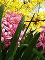 Common Pink hyacinths.jpg