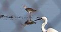 Common Redshank (Tringa totanus) w Little Egret (23289310802).jpg