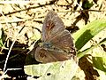 Common Tit Hypolycaena erylus UP Kaziranga by Dr. Raju Kasambe DSCN5705 (6).jpg