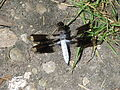 Common Whitetail (16109115419).jpg