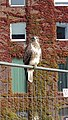 Common buzzard on fence 1.jpg