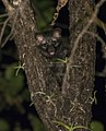 Common palm civet.jpg