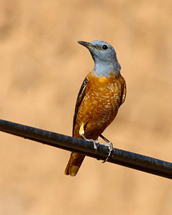 Common rock thrush.jpg