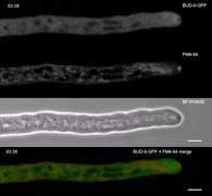 File:Comparative-Live-Cell-Imaging-Analyses-of-SPA-2-BUD-6-and-BNI-1-in-Neurospora-crassa-Reveal-Novel-pone.0030372.s007.ogv