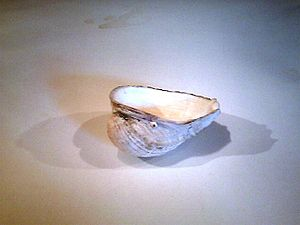 Concholepas concholepas - The shell of Concholepas concholepas is used as an ashtray in Chile.