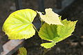 Concord Grape leaves Closeup.jpg