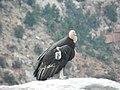 Condor.jpg - panoramio.jpg