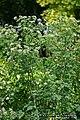 Conium maculatum plant (06).jpg