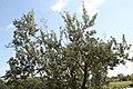 Conocarpus erectus 10zz.jpg