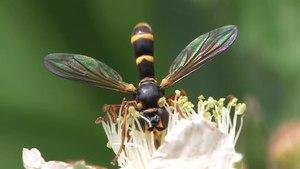 File:Conops quadrifasciatus, female.ogv