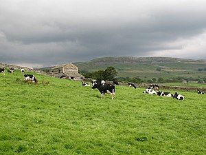 English: Contented Cows Dairy cows in a field ...