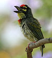 Coppersmith Barbet (Megalaima haemacephala) in Hyderabad W IMG 8287.jpg