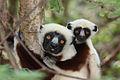 Coquerel's Sifaka lemurs.jpg