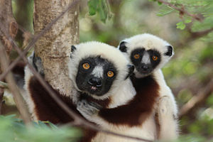 Polygyny in animals - Coquerel's sifaka lemurs