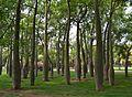 Corísies al jardí del Túria de València.JPG