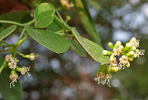 Cordia dichotoma - Image: Cordia dichotoma (Lasora) in Hyderabad W IMG 7087