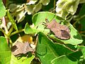 Coreus marginatus 20050831 659 part.jpg