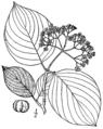 Cornus rugosa BrittonBrown.png