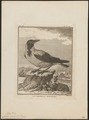 Corvus cornix - - Print - Iconographia Zoologica - Special Collections University of Amsterdam - UBA01 IZ15700225.tif