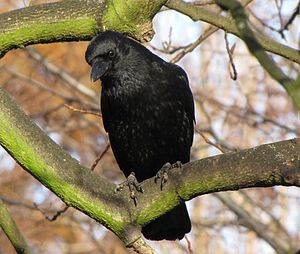 Carrion crow - In Southend-on-Sea, England