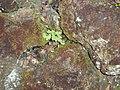 Corydalis ochroleuca Kock (AM AK258832-2).jpg