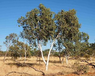 <i>Corymbia flavescens</i> species of plant