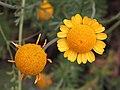 Cota tinctoria syn. Anthemis tinctoria Rumian żółty 2009-07-20 01.jpg