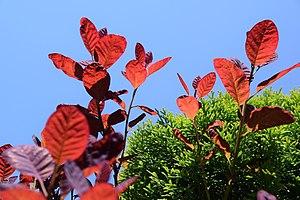 Cotinus coggygria - Image: Cotinus coggygria spring leafs