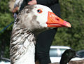 Cotton Patch Goose.jpg