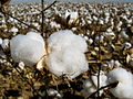 Cotton field kv04.jpg