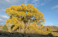 Cotton wood tree near Hatch Utah.JPG