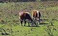 Cows - panoramio (14).jpg