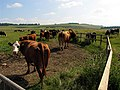 Cows in Pasture near Upper Lambourn - geograph.org.uk - 25937.jpg