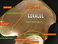 Coxal bone - muscular insertions.jpg