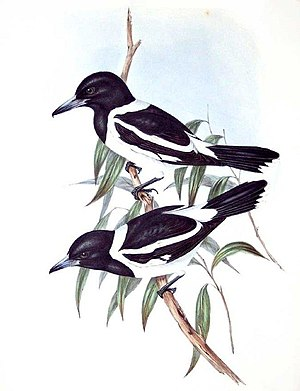 Pied butcherbird - Painting by John Gould