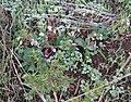 Crassula capensis Cape snowdrop 9815.jpg