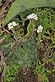 Crassula setulosa (Crassulaceae) (6786066422).jpg