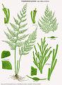 Crepidomanes grande (Trichomanes millefolium).jpg