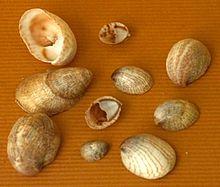 Common slipper shell - Wikipedia