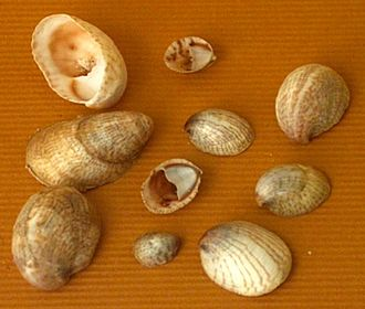 Hermaphrodite - Shells of Crepidula fornicata (common slipper shell).