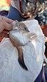 Crest-tailed Mulgara.jpg