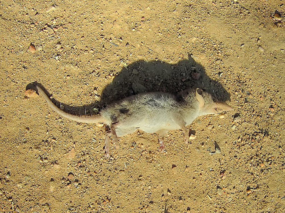 The average adult weight of a Lesser red musk shrew is 15 grams (0.03 lbs)