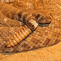 Part of the coils of an orange-brown rattlesnake are shown with head resting on top of one and a nine segmented rattle dangling in front of the coils.