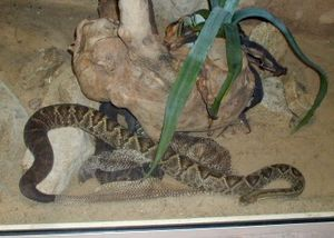 Reptile scale - Cascavel (Crotalus durrisus), a rattlesnake, seen moulting.