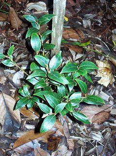 <i>Cryptocarya nova-anglica</i> Species of tree