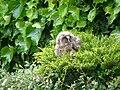 Cucciolo di Gufo a Ateleta.jpg
