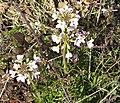 Cuckoo flower or Ladies smock - geograph.org.uk - 747828.jpg